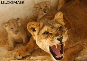 leoa-tamara-ruge-para-os-visitantes-de-zoologico-da-jordania